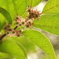 写真: クロガネモチの花