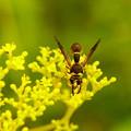 写真: 蜂とオミナエシ
