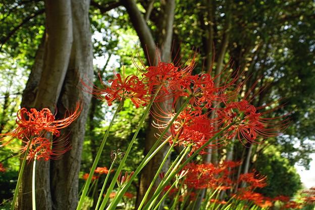 樹林の曼珠沙華