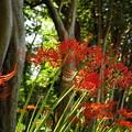 写真: 樹林の曼珠沙華