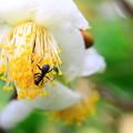お茶の花に蟻