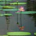 水に映る蓮の花
