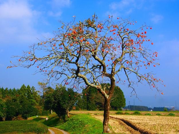 山畑の柿の木