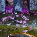 Photos: 花筏も踊る