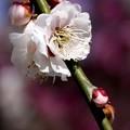 写真: 梅の香