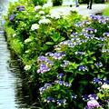 写真: 水辺に咲く