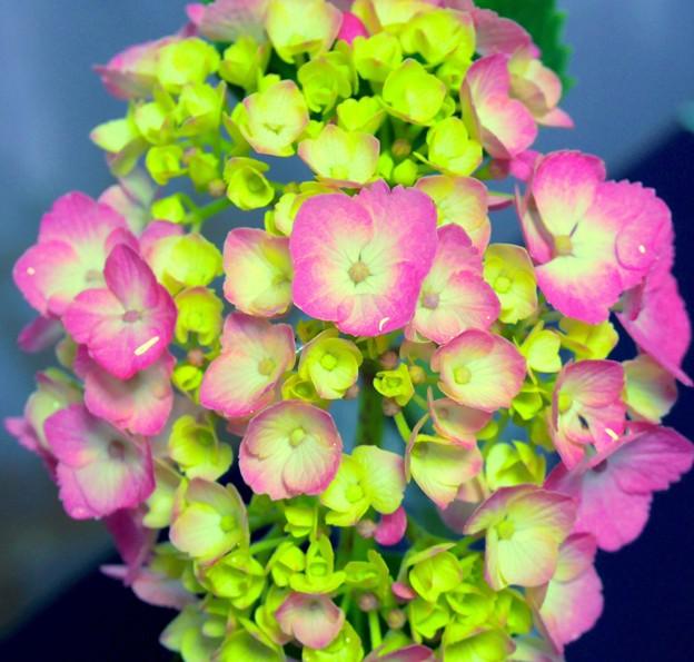 華やかに咲いた