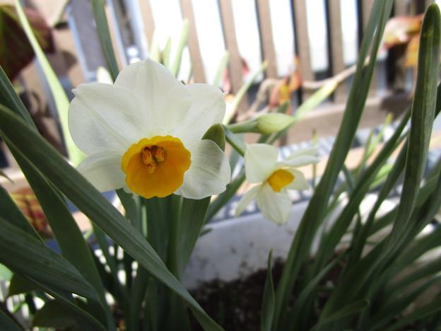 写真: 水仙も2輪咲いた