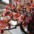 写真: カネノナルキに花が咲く