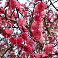 写真: 大宮公園の梅