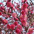 写真: 綺麗に咲いている