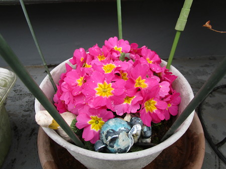 プリムラちゃん、たくさん咲きました(≧∇≦)ノ彡