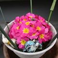 写真: プリムラちゃん、たくさん咲きました(≧∇≦)ノ彡