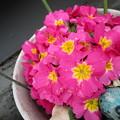 写真: チョット食われているけどたくさん咲いている