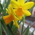 写真: 黄色い水仙だ