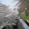 写真: 鴻沼川の桜