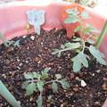写真: 落ち種から生えたミニトマト