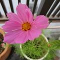 写真: コスモス、咲いちゃった(´ω`*)