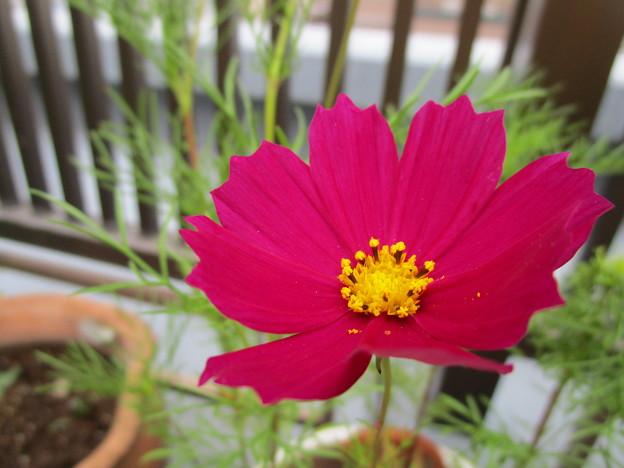 今度咲いたコスモスは濃いピンク