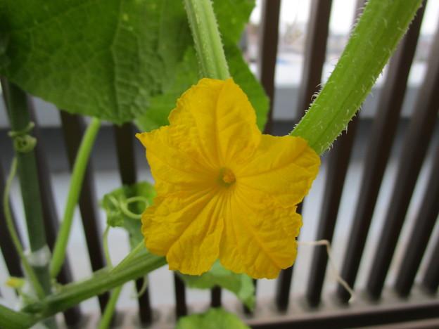 キュウリの花