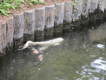 白い大きな鯉>゜))))彡