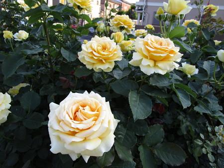 駅前の薔薇