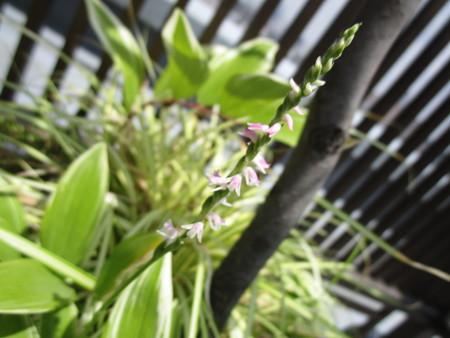 ネジネジ花が咲いた