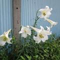 Photos: 何時もの場所に咲いている百合