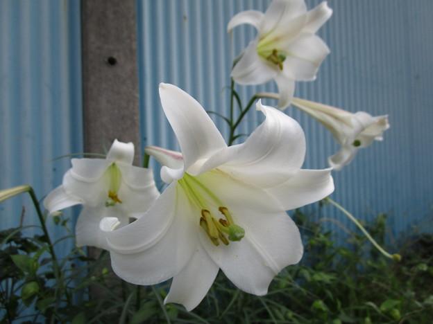 何時もの場所に咲いている百合