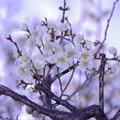 写真: 庭の白梅