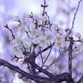 Photos: 庭の白梅