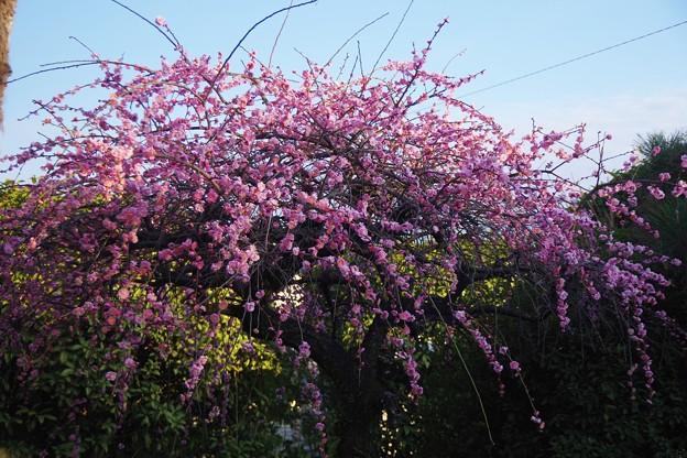 Photos: 今年は例年になく綺麗に咲きました