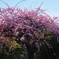 写真: 今年は例年になく綺麗に咲きました