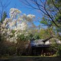 写真: 満開の白木蓮