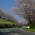 写真: 桜カーブ