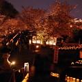 写真: 復活 本妙寺桜(はな)灯籠