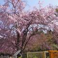 写真: 大正洞の枝垂れ桜