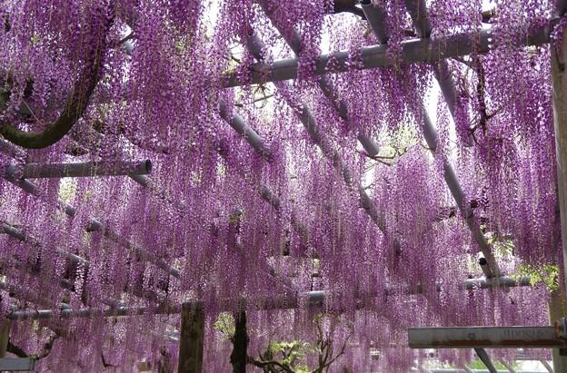 藤の花は良い香り