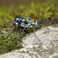写真: 蚊に食われながらも 私はハンミョウに近づく近づく・・・うへ~怖!