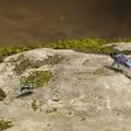 写真: ハンミョウとオオシオカラトンボ