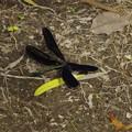 翅を広げたハグロトンボ