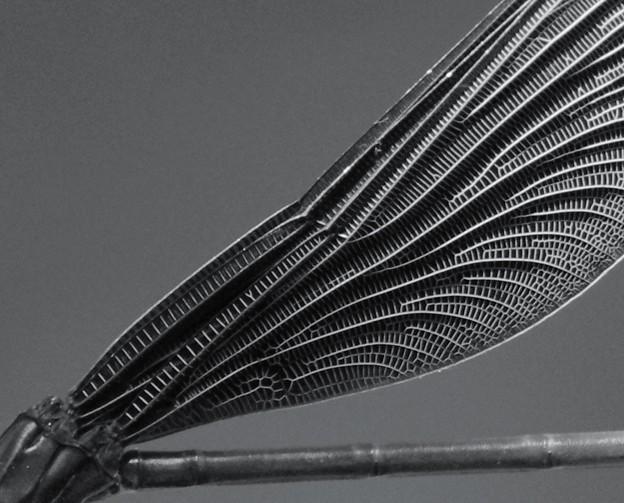 写真: ハグロ翅