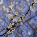 Photos: 梅の香