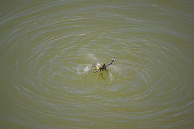 同士バトルで水に落ちたトンボ