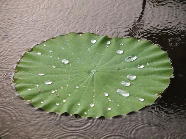 ハス・雨降り・・・