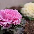 写真: 花キャベツ