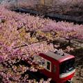 写真: 河津桜と赤い電車