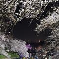写真: 千鳥ヶ淵の夜桜