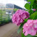 Photos: あじさい