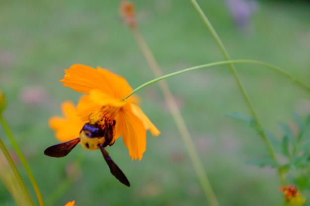 キバナコスモスとクマバチ